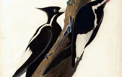 The Mystery of the Ivory-Billed Woodpecker