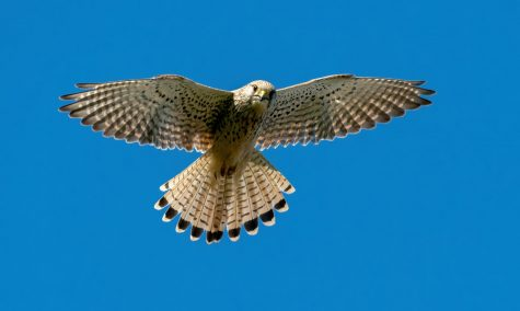 What is The Kestrel?